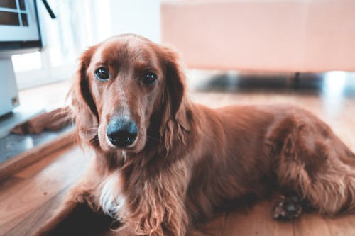 Adorable shaggy domestic golden hound with brown fur looking at camera while lying on parquet in cozy room with blurred background