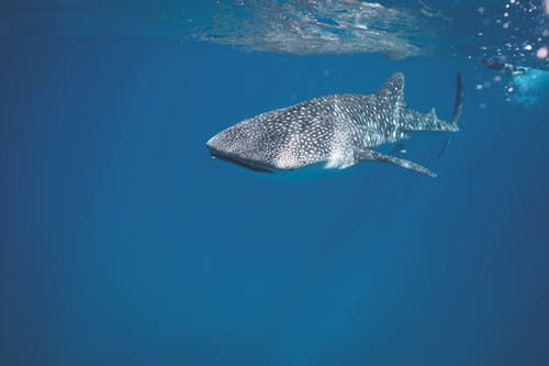 Whale shark swimming under crystal clear water of ocean near surface under sunlights