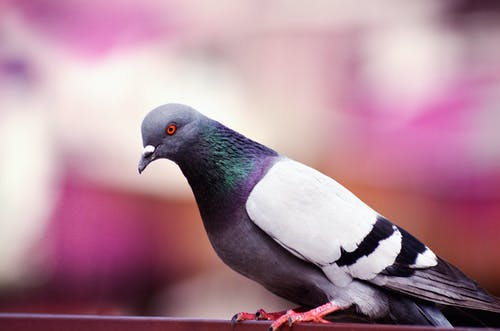 Gray and White Pigeon