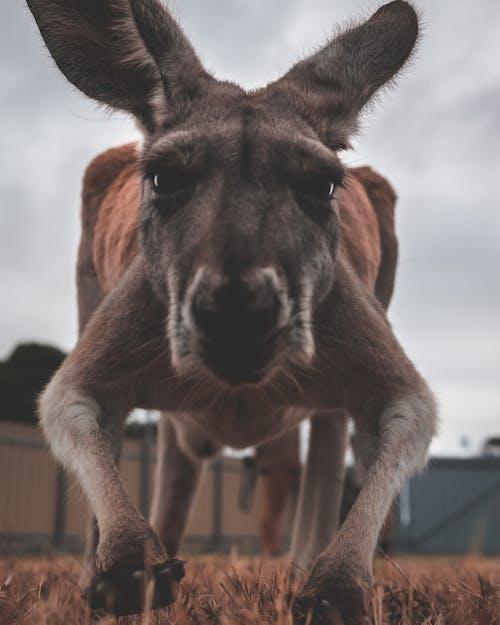Kangaroo on grassy ground in zoo