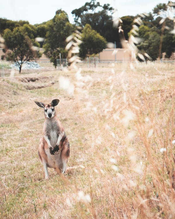 Kangaroo on grassy meadow with green trees