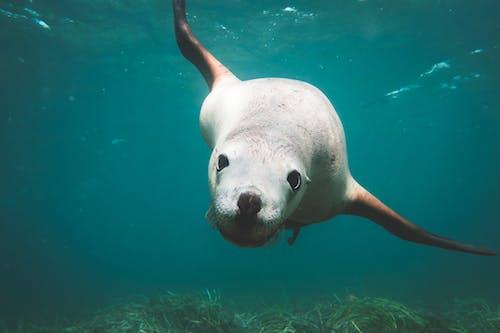 Big sea lion swimming in blue water