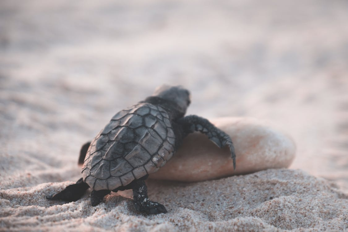 Small wild turtle crawling on stone while walking on sandy beach in tropical country on blurred background on summer day