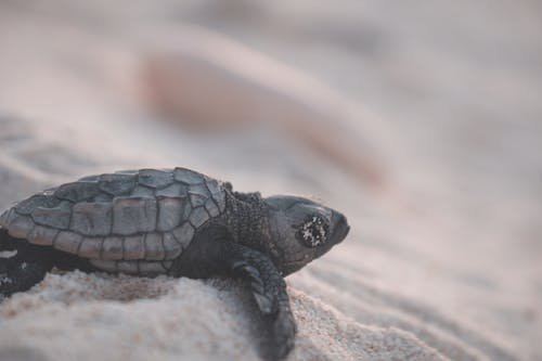 Small wild turtle with relief shell crawling on shore with grains of sand in tropical resort on blurred background in nature