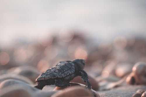 Small turtle on coast with pebbles