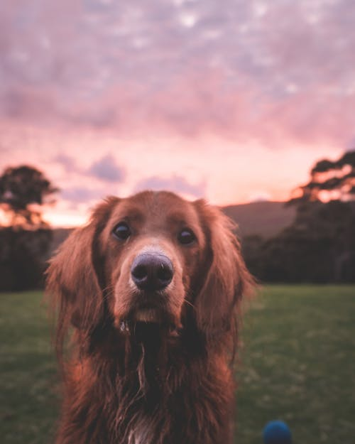 Cute purebred dog on meadow at sunset