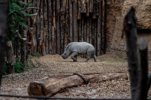 Rhinoceros Walking Near Wood Logs