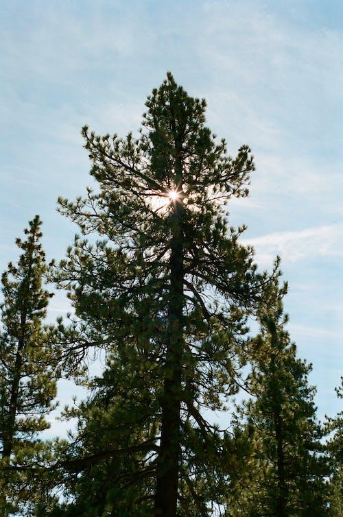 Бесплатное стоковое фото с 35 мм, portra 400, вечнозеленый