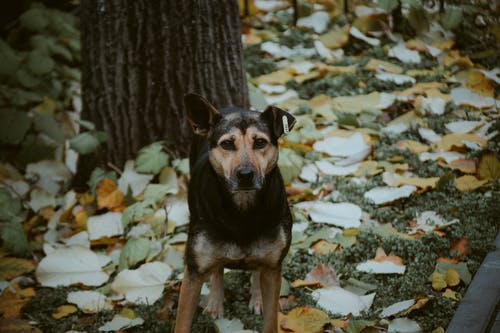 Black and Tan Short Coat Medium Sized Dog Standing Beside Tree