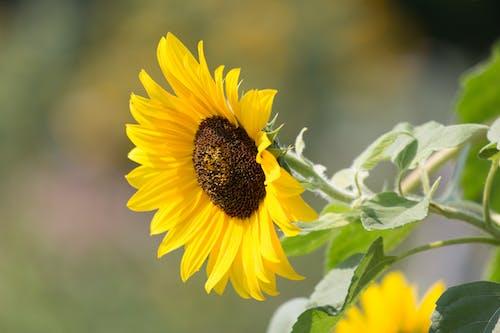 Ilmainen kuvapankkikuva tunnisteilla auringonkukka, HD-taustakuva, kasvi, kasvikunta