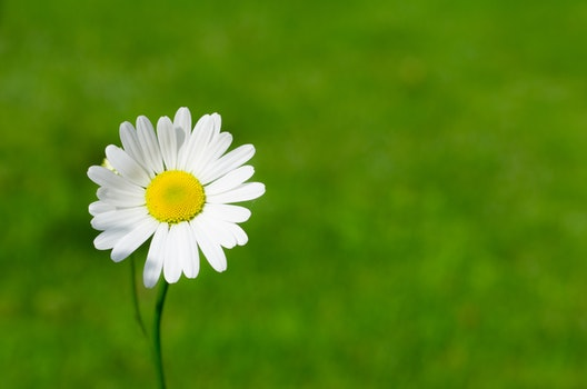 White Daisy Closeup Photography