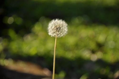 Gratis lagerfoto af blomst, frø, hash, Mælkebøtte