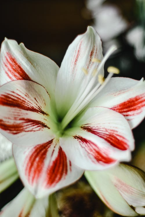 White and Red Flower in Macro Shot
