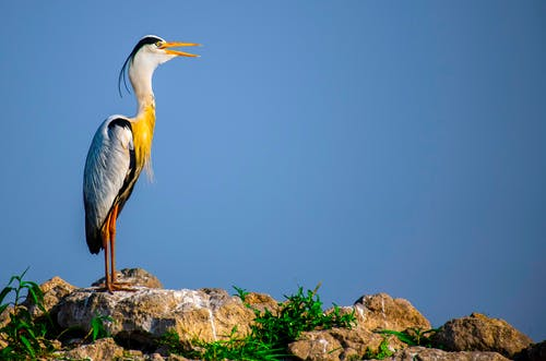 Bright great blue heron with yellow feathers on neck standing on rocky ground against blue sky in sunny wild nature