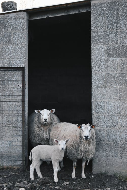 Herd of Sheep on Gray Concrete Wall