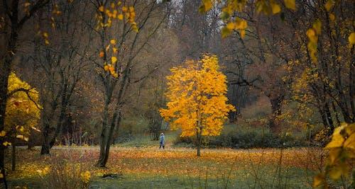 Immagine gratuita di acero, alba, albero, autunno