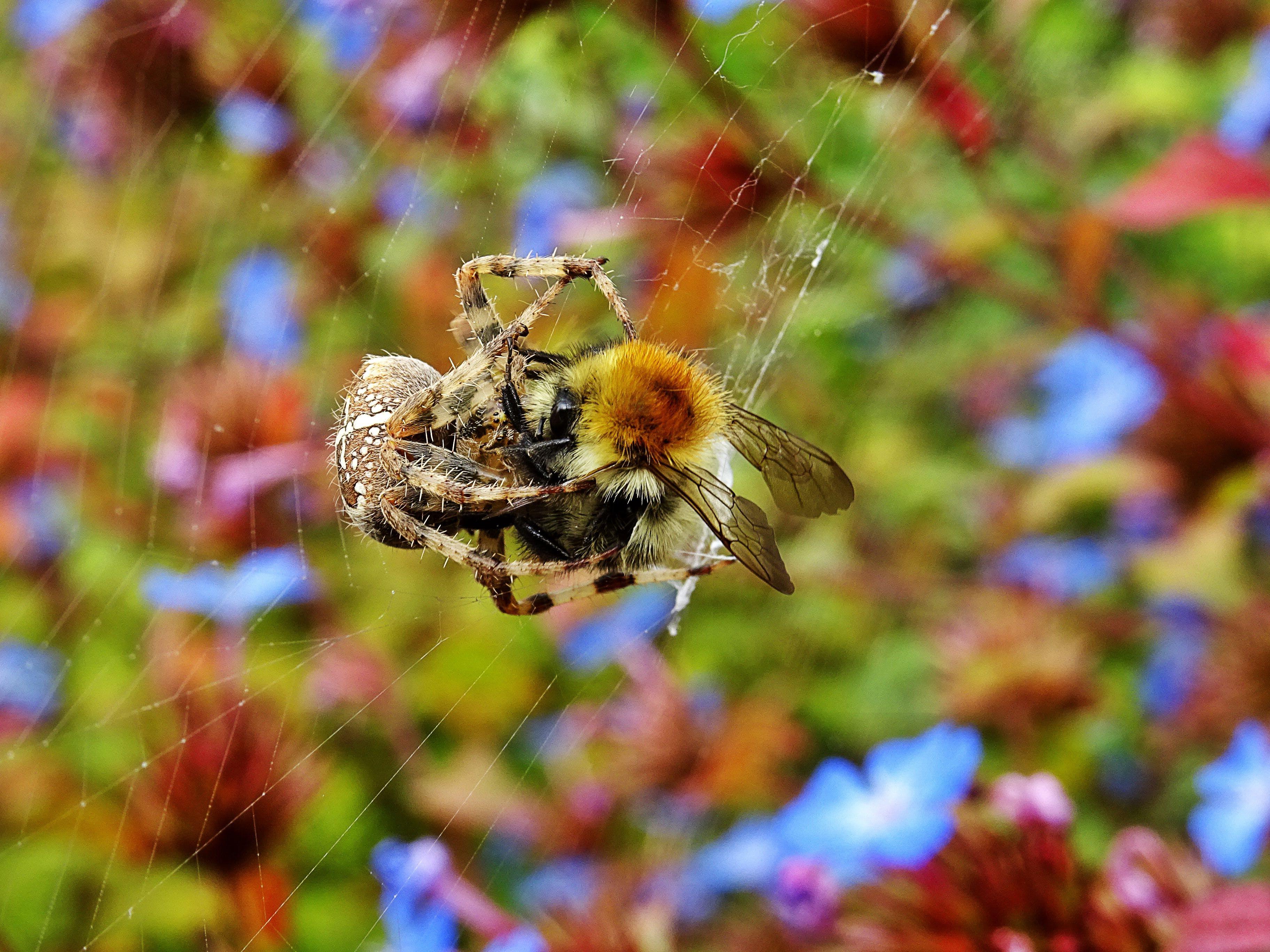 Orb Weaver Spider Webbing Bee