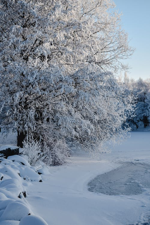 Snow-Covered Tree during Winter