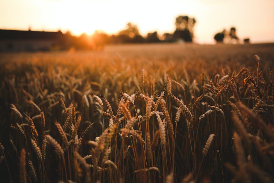жито, жнива, Захід сонця