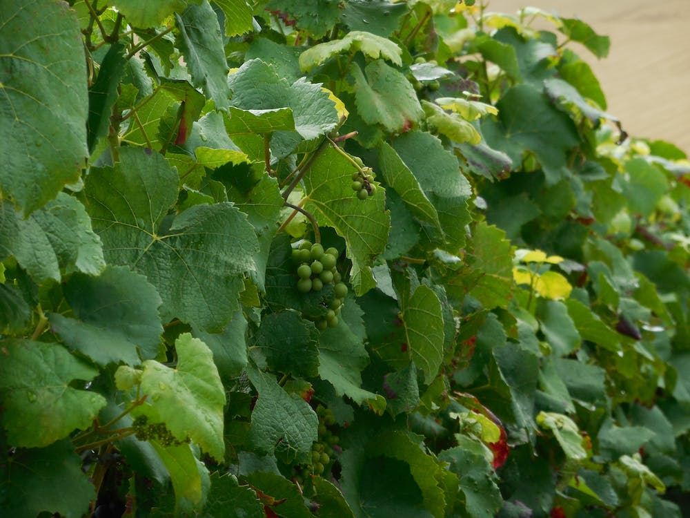 Free stock photo of champagne, grapes, grapevine
