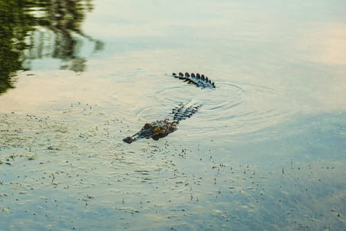 Free stock photo of animal, animals, crocodile