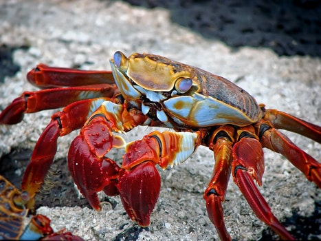 Red White and Brown Crab