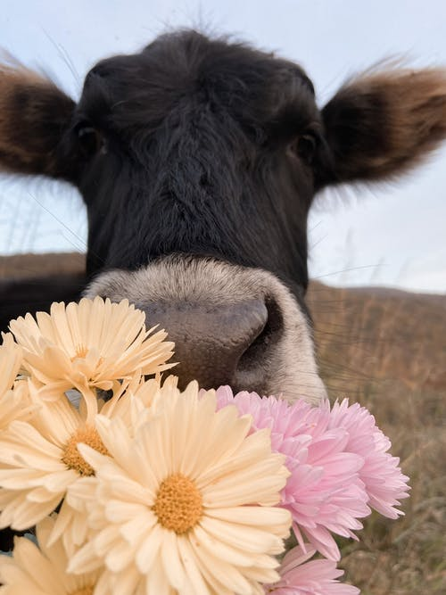 Black domestic cow with colorful flowers in mouth standing on grassy pasture in rural terrain on blurred background in nature
