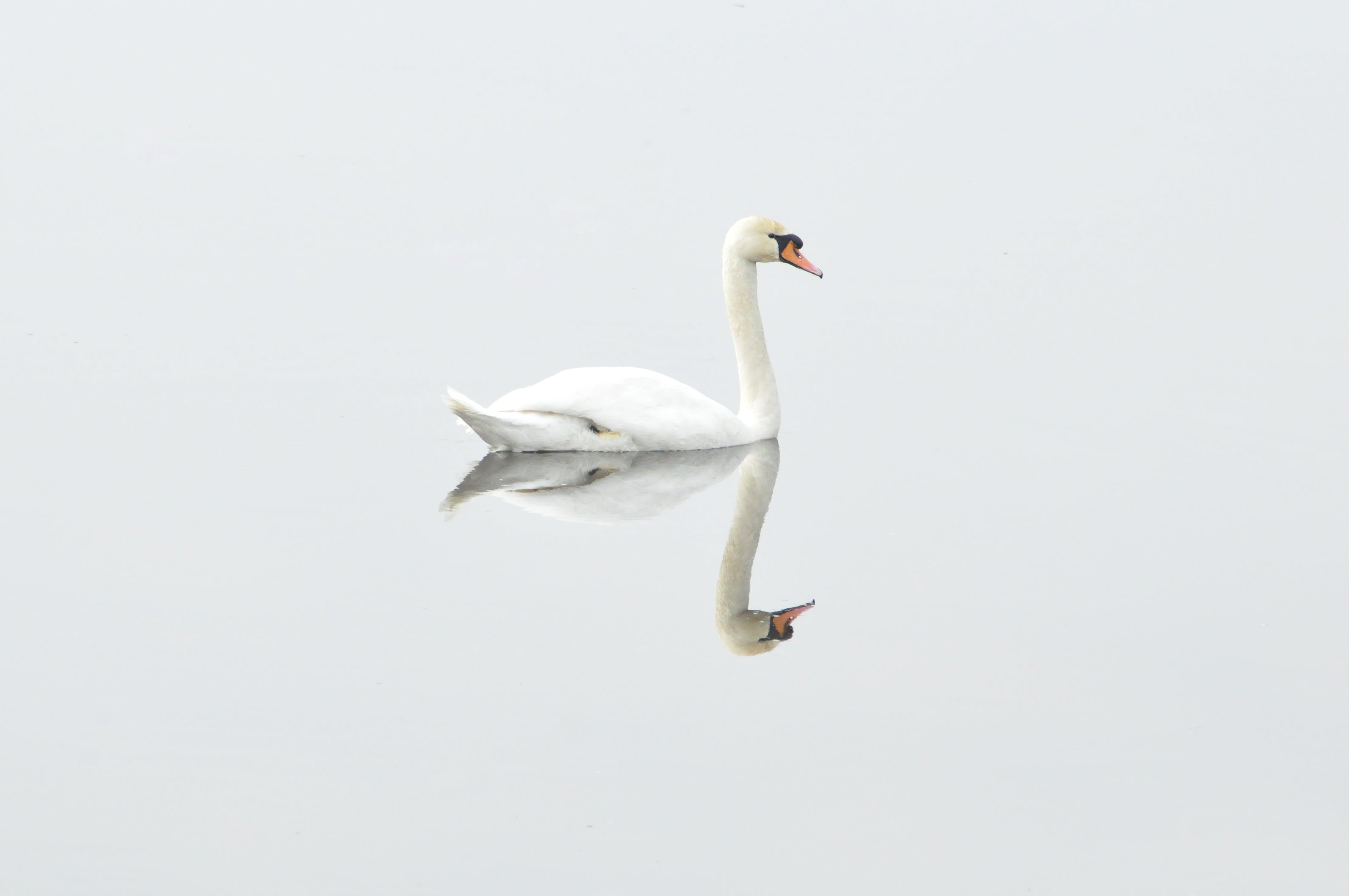 Free stock photo of bird, water, animal, reflection