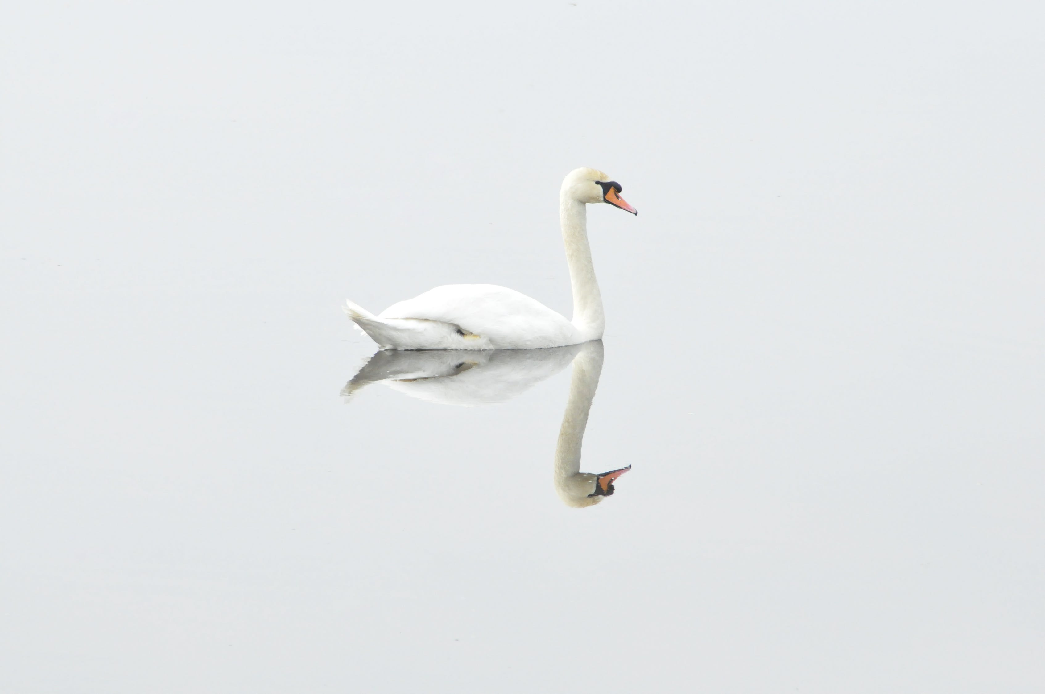 Reflection of Swan on Body of Water