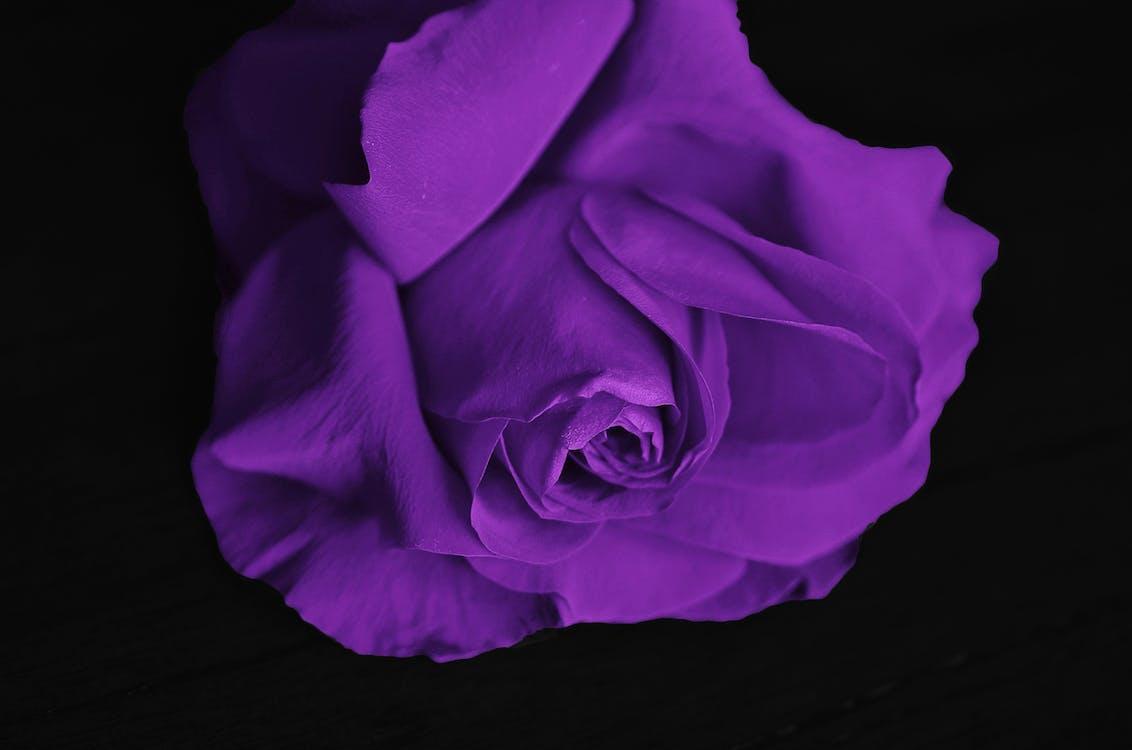 broto, flor, lilás