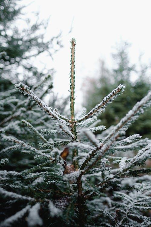 Бесплатное стоковое фото с brances, ветвь, вечнозеленый, дерево