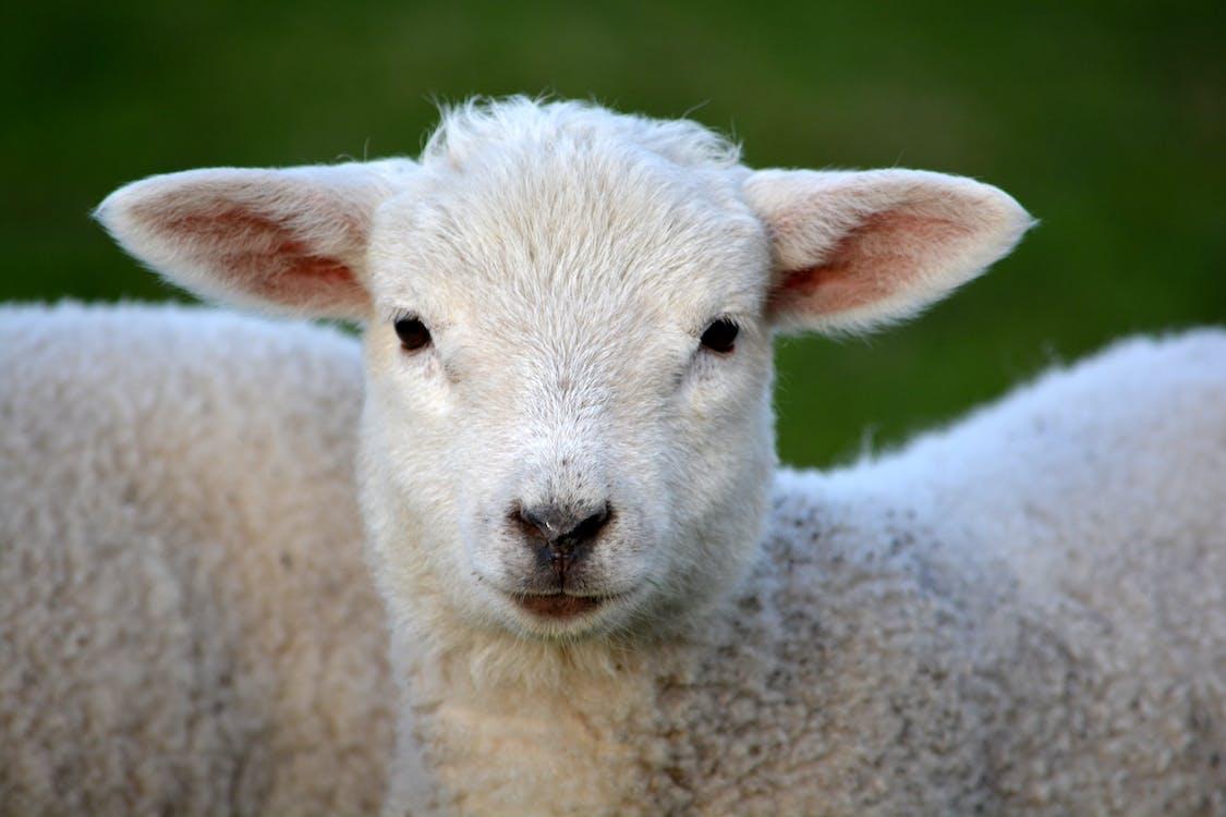 White Coated Lamb