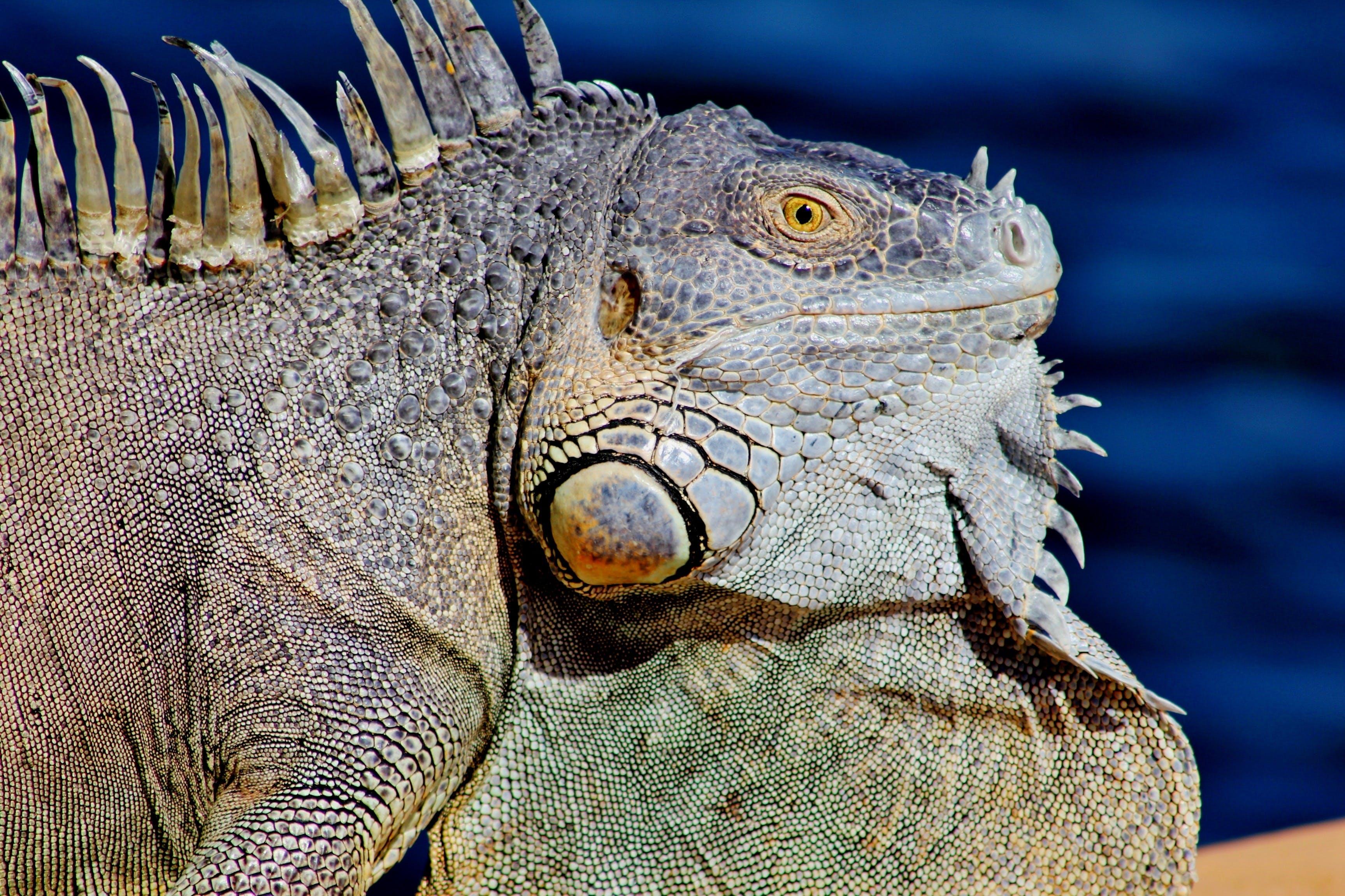 Gray and Green Iguana Close-up Photography