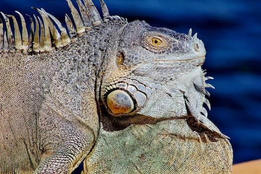 Free stock photo of animal, reptile, wild, macro
