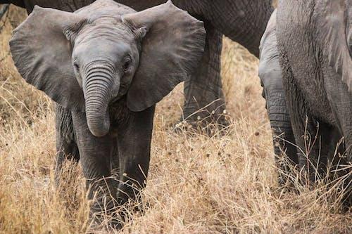 Kostnadsfri bild av afrika, elefanter, safari, serengeti