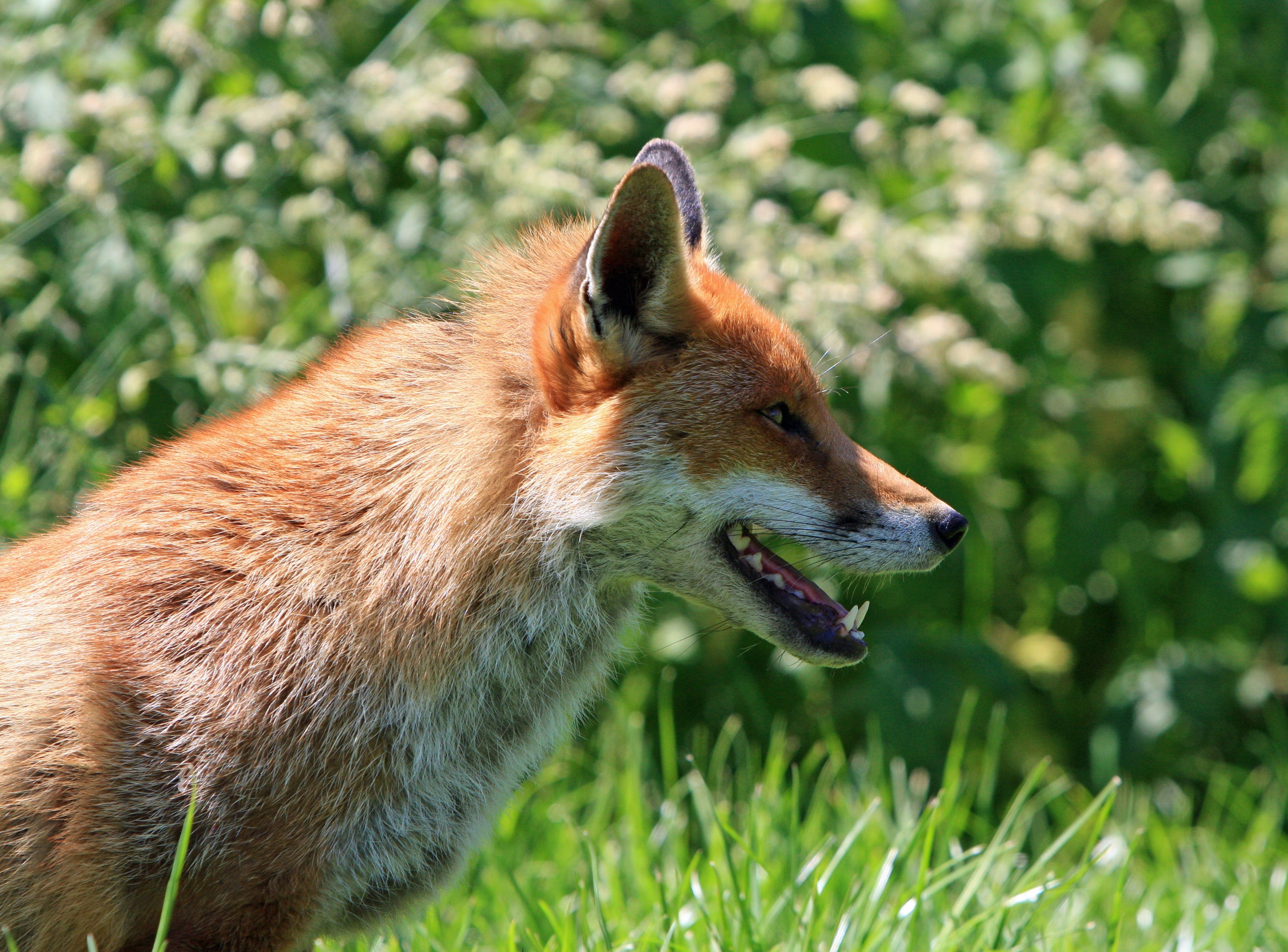 Brown Fox in Green Grass Field during Daytime