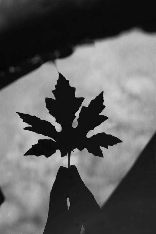 A Grayscale Photo of a Maple Leaf