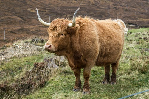 Side view of domestic Scotland Highland purebred cow with brown fur and long horns pasturing in grassland