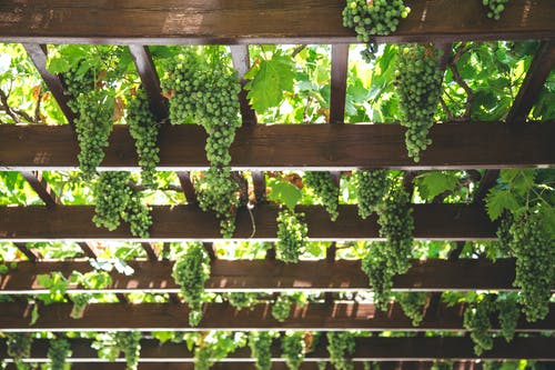 From below green grape vines growing on spacious wooden pergola in vineyard on sunny weather