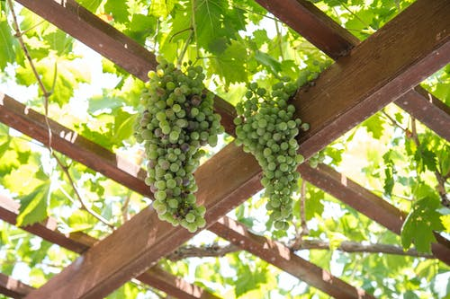 Vines growing on wooden pergola in vineyard