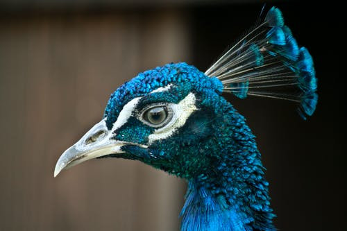 Side view of wild peacock with long beak and green eyes standing in nature
