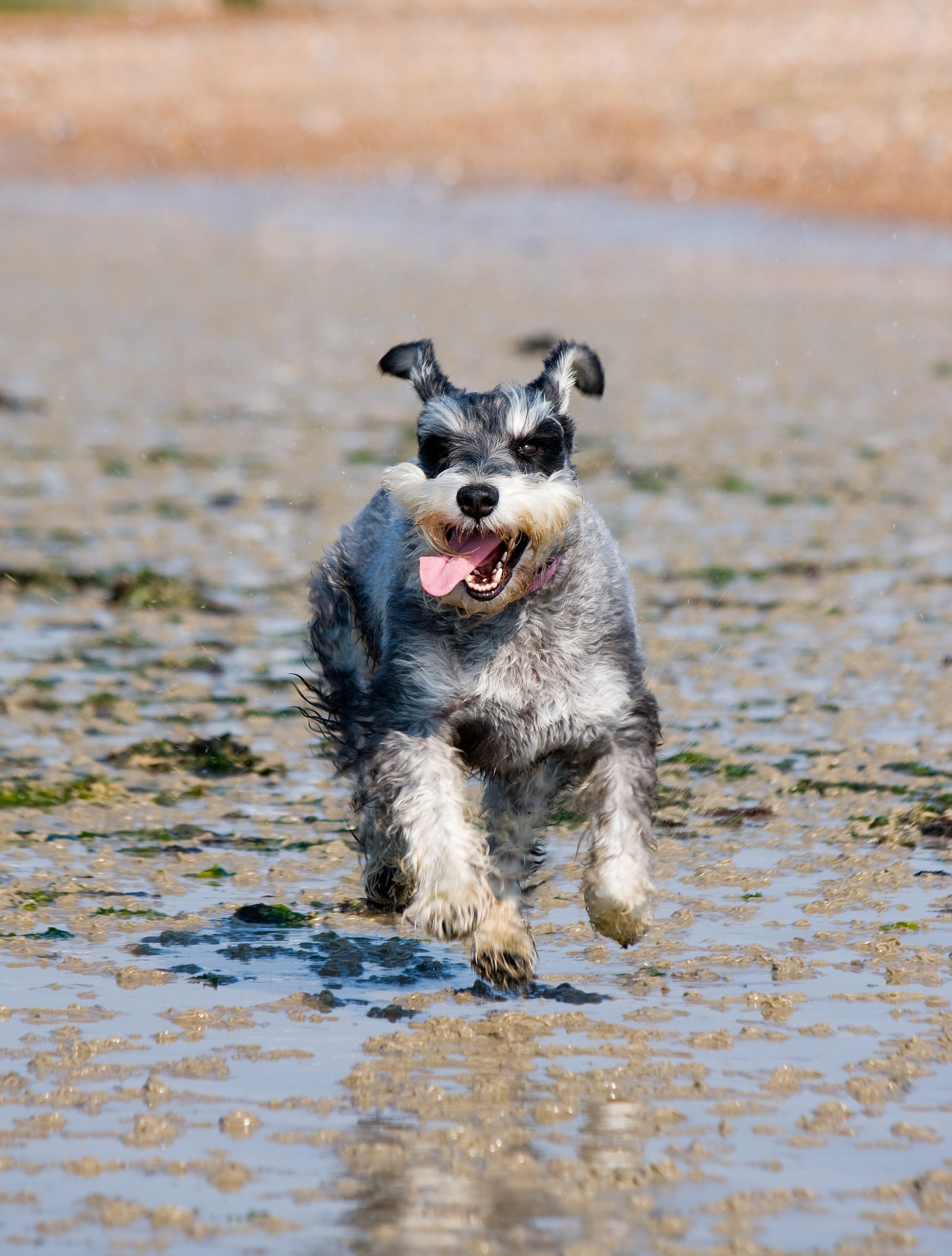 Salt and Pepper Miniature Schnauzer Running on Wet Sand
