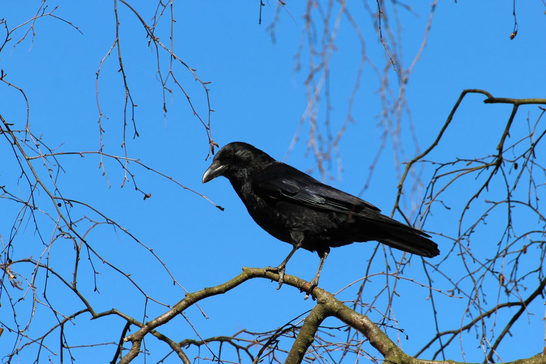 Pájaro Cuervo Negro