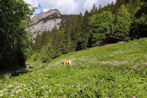 Ilmainen kuvapankkikuva tunnisteilla Alpit, eläin, karjanhoito