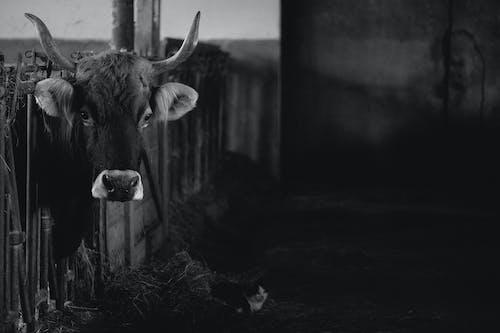 Domestic bull standing in paddock