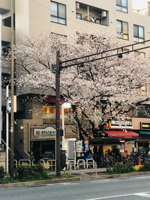 White Cherry Blossom Tree Near White Building