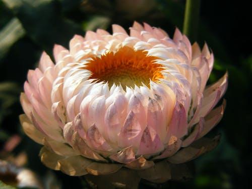 Бесплатное стоковое фото с strawflower, завод, золотое вечное, ксерохризум брактеатум