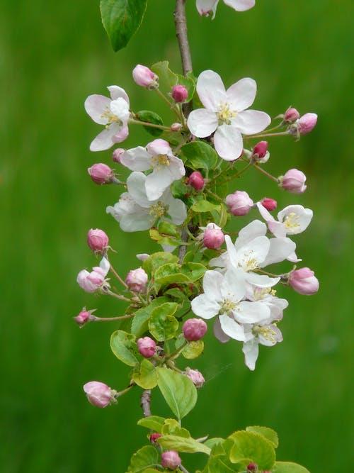 Immagine gratuita di boccioli di fiori, bocciolo, fiore, fiori