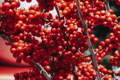 Red berries of winterberry on shrub decorative species from North America growing in natural environment