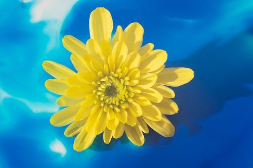 Fiore Giallo Brillante Su Sfondo Blu